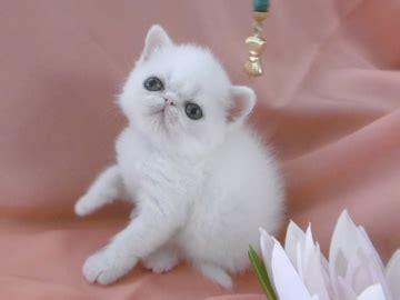 cuccioli persiani disponibili cuccioli disponibili gattipersiani it gatti persiani