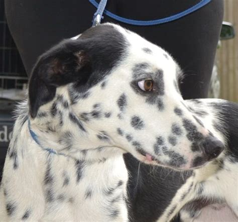 pug rescue sussex rex 13 month dalmatian cross collie for adoption