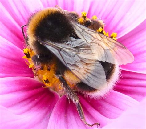 15 04 St Flower Bee White wp images bumblebee post 5