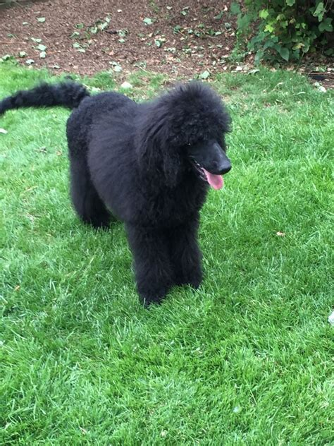 black poodle puppies black standard poodle puppies swindon wiltshire pets4homes