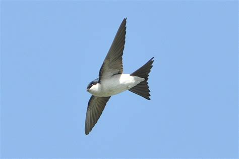 house martin bird photos may 2009