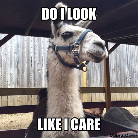 Do I Care Meme - 257 best llamas and alpacas images on pinterest animals