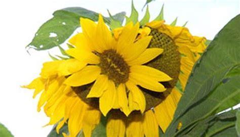 Bibit Bunga Di Indonesia inilah bibit bunga pertama di dunia galakxi