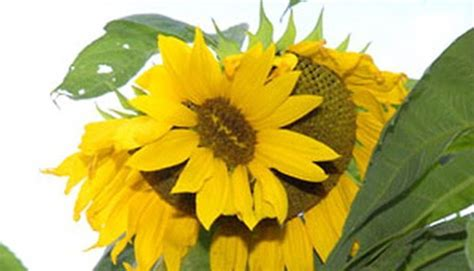 Bibit Bunga Matahari Kecil terungkap bibit bunga pertama di dunia tekno tempo co