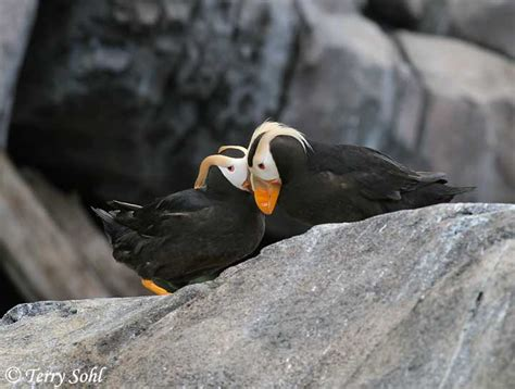 tufted puffin information and photos
