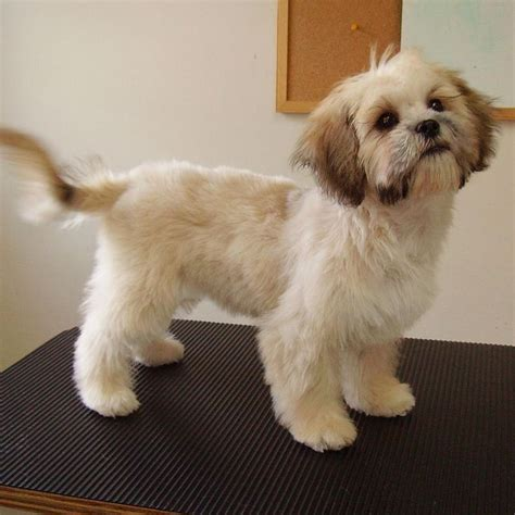 shih tzu cuts styles 25 best ideas about shih tzu maltese mix on pinterest
