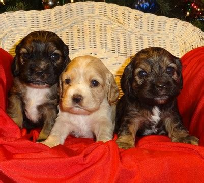 puppies for sale missoula montana view ad cocker spaniel puppy for sale montana missoula
