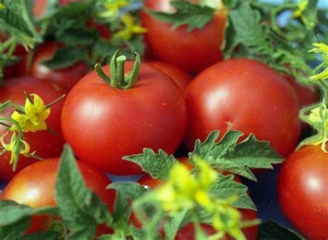 Банзай томаты фото