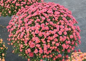 fall mums provide instant colorful impact