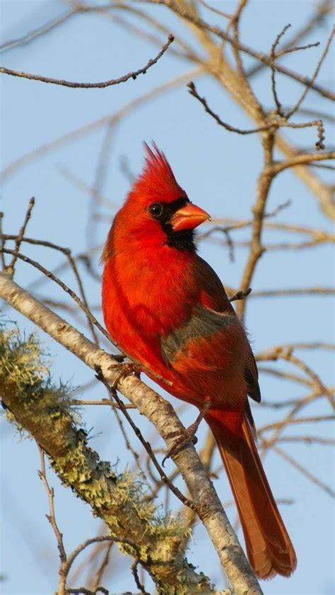 red cardinal bird pictures beautiful birds animals