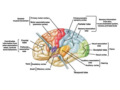 sensory and motor areas of the brain movement science 110 gt drew gt flashcards gt movement