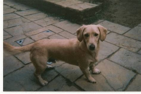 golden retriever cross dachshund for sale cross and no were not dachshunds labrador the sep