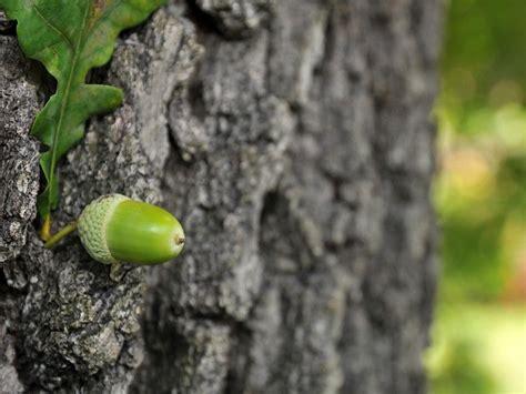 Rinde Der Eiche by Die Eiche Der Eichenbaum Und Die Eichen Arten