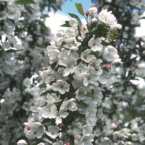 buy crab apple syn malus admiration malus