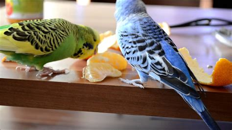 wellensittiche beim fressen my budgies eating fruit