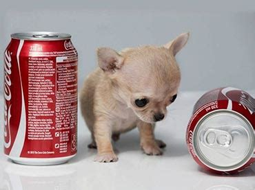 the tiniest puppy in the world 10 smallest breeds in the world wow amazing