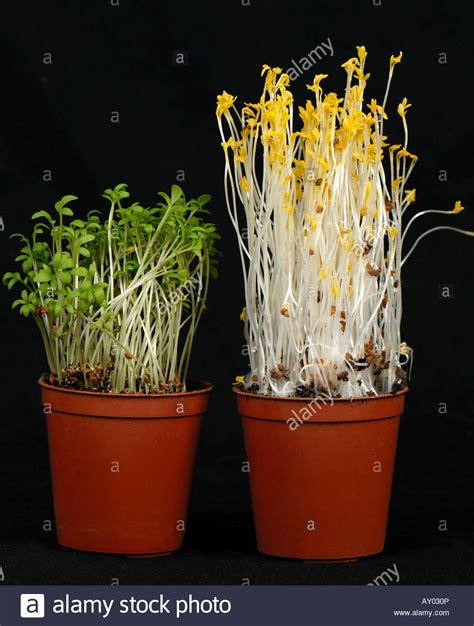 which plants can survive without sunlight cress seedlings left grown in normal light compared to