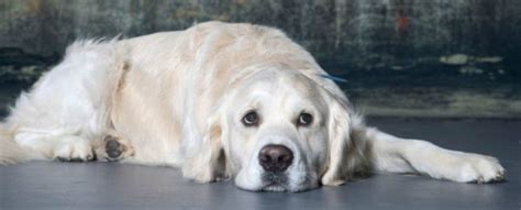 can a golden retriever live outside this new optical illusion shows if you curvature blindness