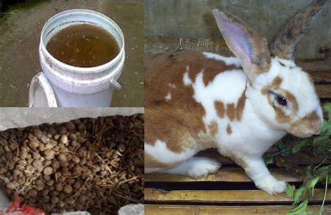 tahap  membuat poc urin kelinci  mengolah
