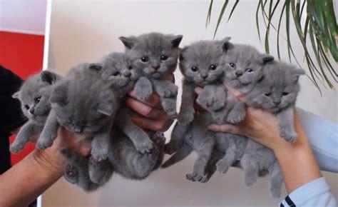 gatto certosino alimentazione crescita di meravigliosi gatti certosino