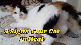 5 signs your cat in heat funnycat tv