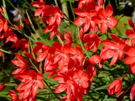 lilies or lillies how to grow schizostylis coccinea the kaffir lily the