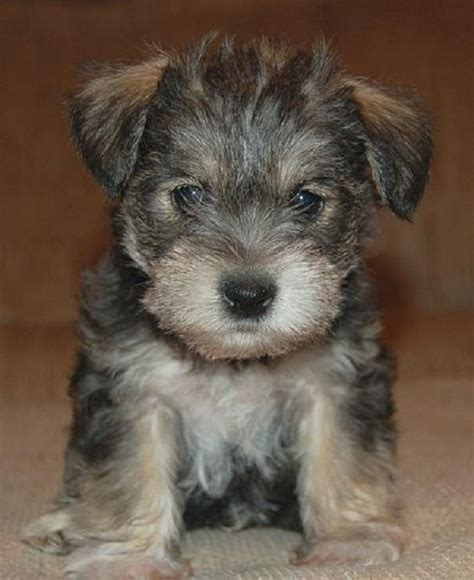 mauzer puppies for sale schnauzer maltese mix puppies for sale zoe fans baby animals