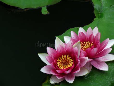 foto giglio fiore fiore rosa giglio fotografia stock immagine di nave