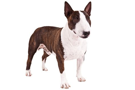 bull terrier bull terrier puppies pictures diet facts behavior temperament