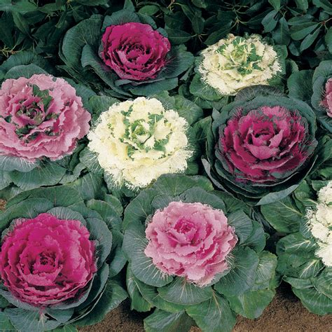 cabbage ornamental mix color up mix hybrid ornamental cabbage seeds
