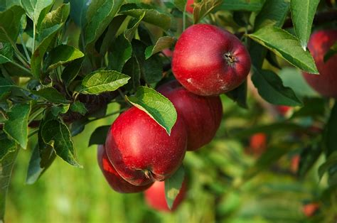 best time to plant fruit trees in michigan turn your apple harvest into apple cider vinegar