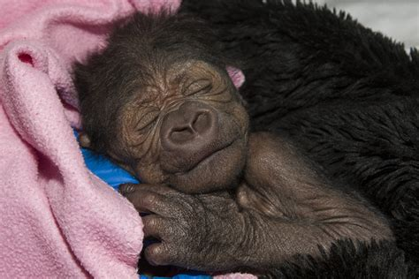 Pneumonia After C Section by Baby Gorilla Born Via C Section Has Pneumonia