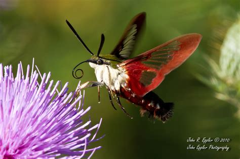 john eppler photography insects hummingbird clearwing moth