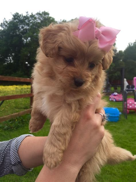 pomeranian x poodle for sale pomeranian x pedigree poodle berkhamsted hertfordshire pets4homes