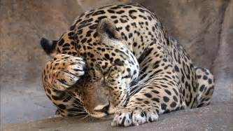 Jaguar Paw Meaning Animals Wallpaper 1366x768 Wallpoper 420790