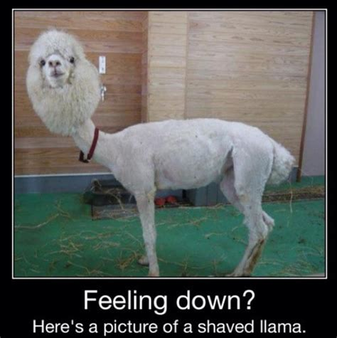 Feeling Down Meme - funny llama pictures