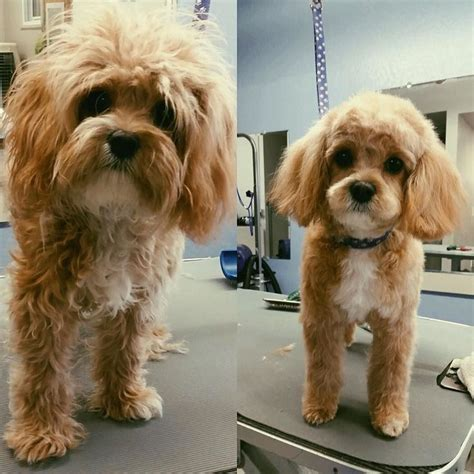 cockapoo haircuts before and after new do who dis cavapoo cavapoogram cavapoosofinstagram