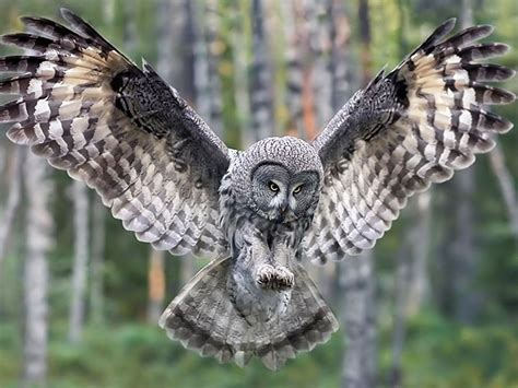 Grey Owl Wallpaper | great grey owl wallpaper and background 1600x1200 id 95574