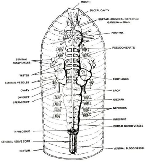 diagram of earthworm excretory process printable earthworm diagrams diagram site