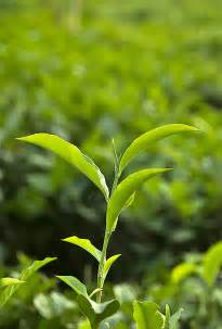File tea plant jpg wikimedia commons