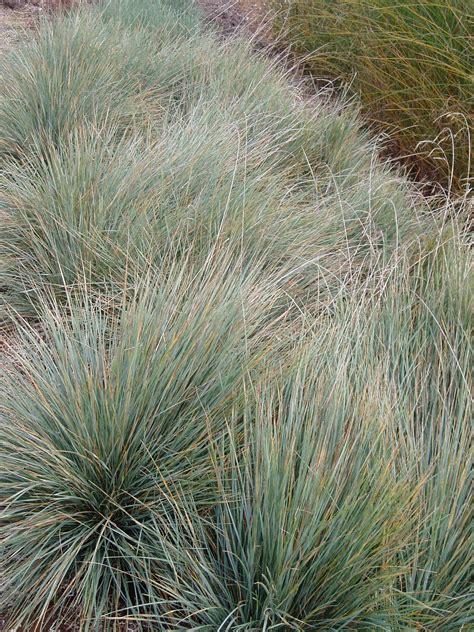 lovegrass farm helictotrichon sempervirens blue oat
