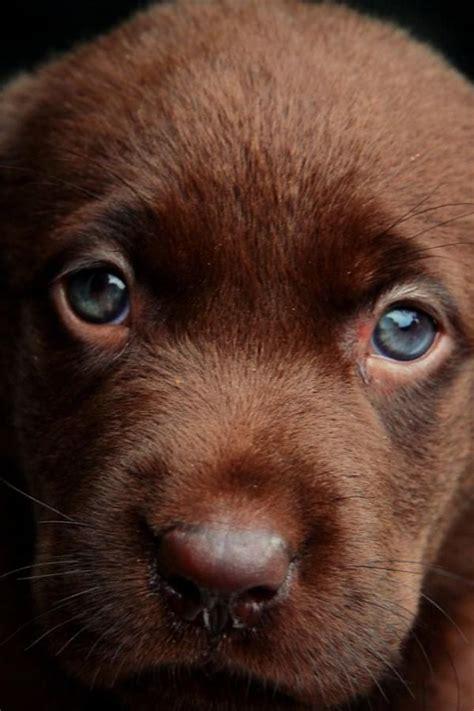 brown labrador puppy brown lab puppy parade pics of puppies