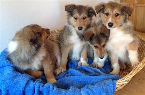 lassie puppies lassie collie puppies for sale