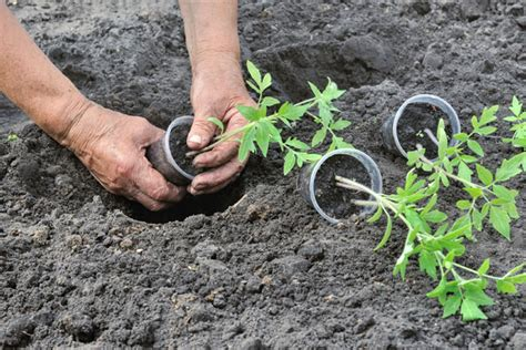 Murah Benih Tomat No Solution No Solution Tomato Import Valmistele Puutarhasi Kev 228 Tt 228 Varten
