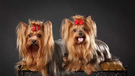yorkie dogs health problems terrier health problems pet yak