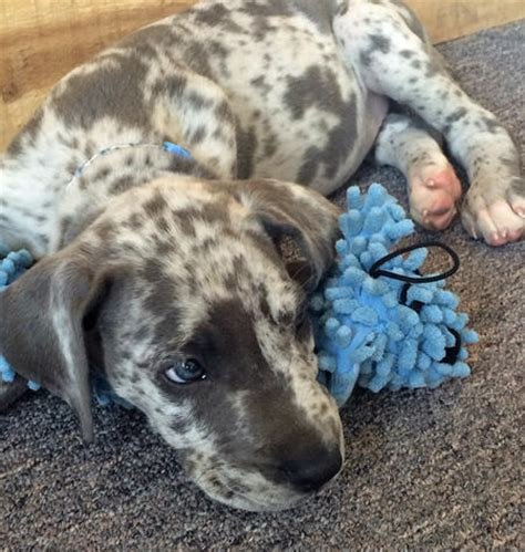 great dane puppy care clifford the great dane puppies daily puppy