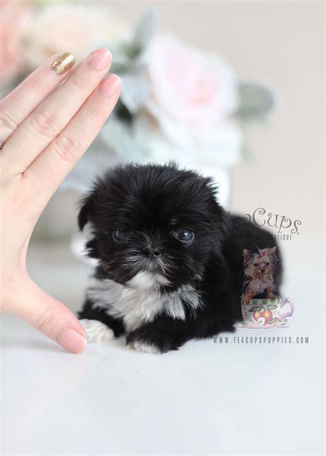 cutest  shih tzu puppies  sale teacups