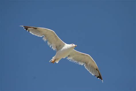di gabbiano volo maestoso di un gabbiano foto immagini animali