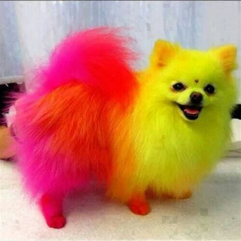 pomeranian colors photos rainbow colored and rainbows and dogs