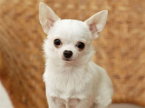 what is the smallest breed 7 smallest breed in the world